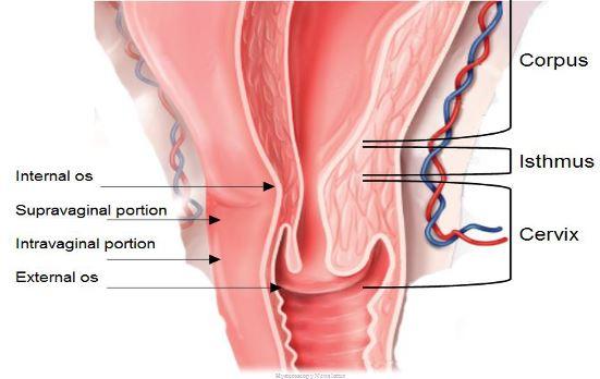cervix-anatomy-2